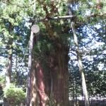 塩原八幡宮のさかさ杉