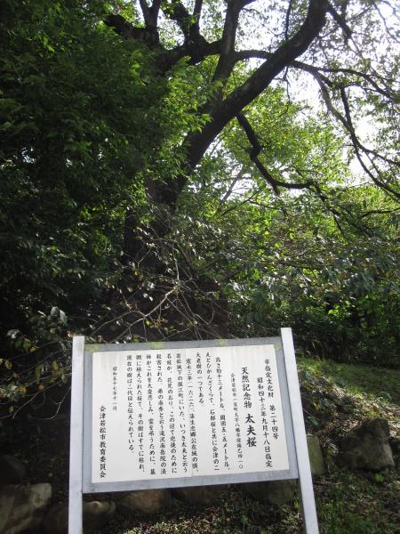 飯盛山太夫桜