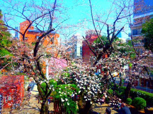 港区乃木公園の桜