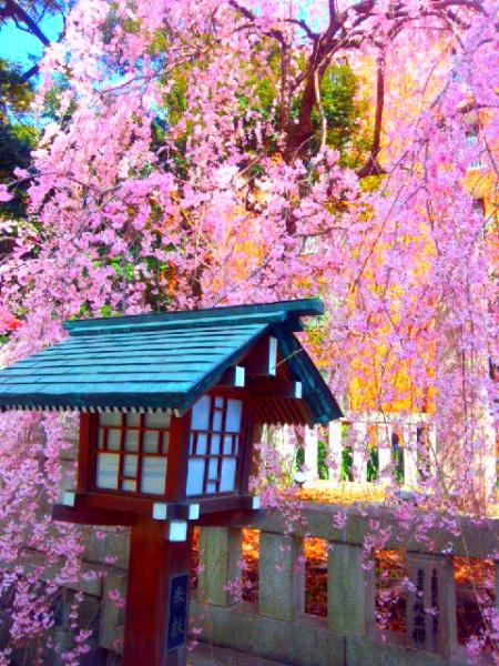 港区乃木神社のしだれ桜