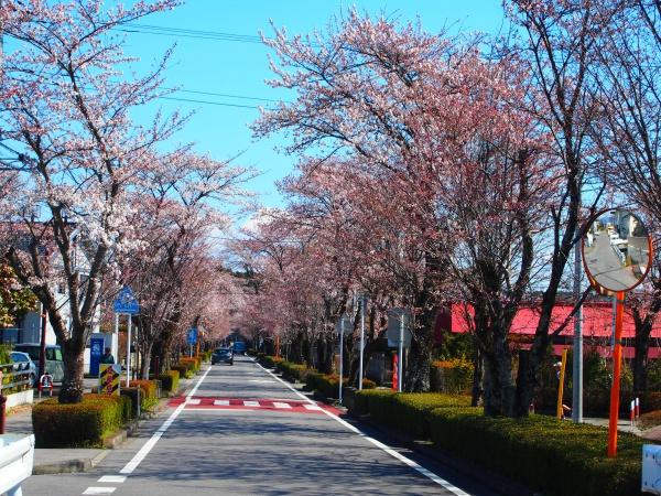 乃木神社(那須塩原市)参道の桜並木