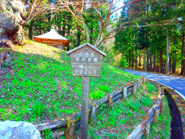 磯上の山桜2014年