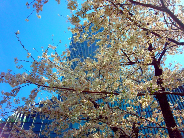 2014年 ミッドタウンガーデンの桜並木