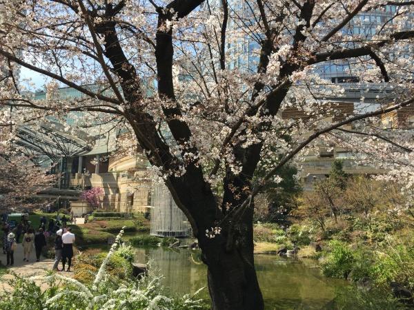 2015年毛利甲斐守邸跡の桜