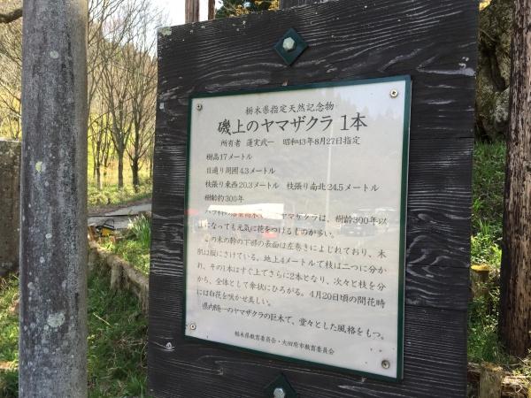 磯上の山桜2015年