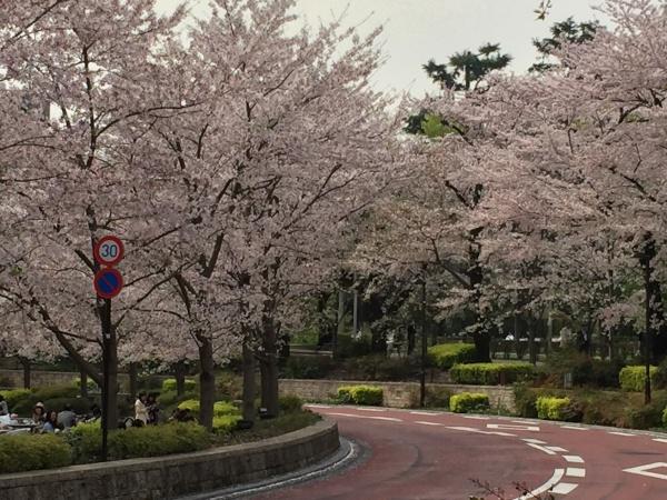 2016年 ミッドタウンガーデンの満開の桜