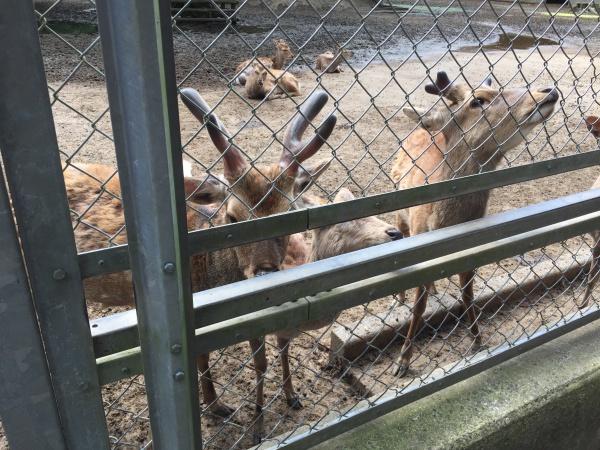 鹿島神宮の神鹿