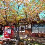 黒羽くらしの館で蕎麦を食べ、ピオーネを買ってTochigi 20140406 115749000 150x150