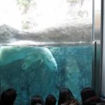 ほっきょくぐま館でもぐもぐタイム!旭山動物園 旭川市 北海道Hokkaidou 20121022 112253 150x150