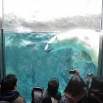 ほっきょくぐま館でもぐもぐタイム!旭山動物園 旭川市 北海道Hokkaidou 20121022 112320 150x150