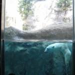 ほっきょくぐま館でもぐもぐタイム!旭山動物園 旭川市 北海道Hokkaidou 20121022 112415 150x150