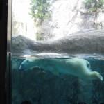 ほっきょくぐま館でもぐもぐタイム!旭山動物園 旭川市 北海道Hokkaidou 20121022 112418 150x150