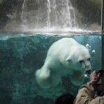 ほっきょくぐま館でもぐもぐタイム!旭山動物園 旭川市 北海道Hokkaidou 20121022 112456 150x150