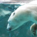 ほっきょくぐま館でもぐもぐタイム!旭山動物園 旭川市 北海道Hokkaidou 20121022 112505 150x150