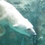 ほっきょくぐま館でもぐもぐタイム!旭山動物園 旭川市 北海道Hokkaidou 20121022 112529 150x150