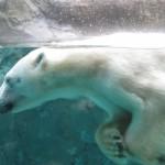 ほっきょくぐま館でもぐもぐタイム!旭山動物園 旭川市 北海道Hokkaidou 20121022 112609 150x150