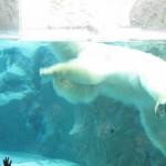 ほっきょくぐま館でもぐもぐタイム!旭山動物園 旭川市 北海道Hokkaidou 20121022 112626 150x150