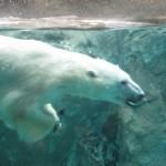 ほっきょくぐま館でもぐもぐタイム!旭山動物園 旭川市 北海道Hokkaidou 20121022 112635 150x150