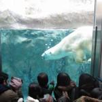 ほっきょくぐま館でもぐもぐタイム!旭山動物園 旭川市 北海道Hokkaidou 20121022 112709 150x150