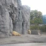 ほっきょくぐま館でもぐもぐタイム!旭山動物園 旭川市 北海道Hokkaidou 20121022 113141 150x150