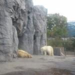 ほっきょくぐま館でもぐもぐタイム!旭山動物園 旭川市 北海道Hokkaidou 20121022 113150 150x150