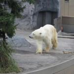 ほっきょくぐま館でもぐもぐタイム!旭山動物園 旭川市 北海道Hokkaidou 20121022 113534 150x150