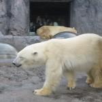 ほっきょくぐま館でもぐもぐタイム!旭山動物園 旭川市 北海道Hokkaidou 20121022 113539 150x150