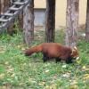 ちょこまか歩くレッサーパンダがかわいい♪もうじゅう館のみんなはくつろぎ中♪ 旭山動物園 旭川市 北海道Hokkaidou 20121022 113901 100x100