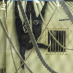 てながざる館のテナガザルは活発だったが、チンパンジーは開店休業中 旭山動物園 旭川市 北海道Hokkaidou 20121022 120212 150x150