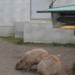かぴばらさんたちをみて東門で昼食 旭山動物園 旭川市 北海道Hokkaidou 20121022 120722 150x150