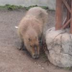 かぴばらさんたちをみて東門で昼食 旭山動物園 旭川市 北海道Hokkaidou 20121022 120802 150x150