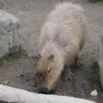 かぴばらさんたちをみて東門で昼食 旭山動物園 旭川市 北海道Hokkaidou 20121022 120827 150x150