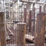 麒麟…いやキリンをみて東門shopに立ち寄って北限のサルをみる 旭山動物園 旭川市 北海道Hokkaidou 20121022 133659 150x150