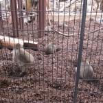 麒麟…いやキリンをみて東門shopに立ち寄って北限のサルをみる 旭山動物園 旭川市 北海道Hokkaidou 20121022 133712 150x150