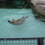 やはりここを見なきゃ、あざらし館と空飛ぶペンギンたち 旭山動物園 旭川市 北海道Hokkaidou 20121022 135318 150x150