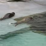 やはりここを見なきゃ、あざらし館と空飛ぶペンギンたち 旭山動物園 旭川市 北海道Hokkaidou 20121022 135339 150x150