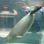 やはりここを見なきゃ、あざらし館と空飛ぶペンギンたち 旭山動物園 旭川市 北海道Hokkaidou 20121022 135755 150x150