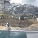 やはりここを見なきゃ、あざらし館と空飛ぶペンギンたち 旭山動物園 旭川市 北海道Hokkaidou 20121022 140436 150x150