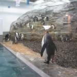 やはりここを見なきゃ、あざらし館と空飛ぶペンギンたち 旭山動物園 旭川市 北海道Hokkaidou 20121022 140523 150x150