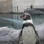 やはりここを見なきゃ、あざらし館と空飛ぶペンギンたち 旭山動物園 旭川市 北海道Hokkaidou 20121022 140804 150x150