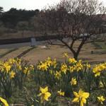 国営ひたち海浜公園 ネモフィラの季節の前にスイセンIbaraki 20160320 153734000 150x150