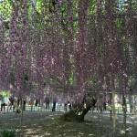 世界を魅了した夢の旅行先「あしかがフラワーパーク」の藤の花が満開!!! CNN「2014年の世界の夢の旅行先9カ所」Tochigi 20150505 154607 150x150