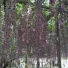 世界を魅了した夢の旅行先「あしかがフラワーパーク」の藤の花が満開!!! CNN「2014年の世界の夢の旅行先9カ所」Tochigi 20150505 154619 100x100