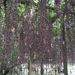 世界を魅了した夢の旅行先「あしかがフラワーパーク」の藤の花が満開!!! CNN「2014年の世界の夢の旅行先9カ所」