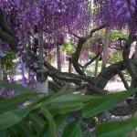 世界を魅了した夢の旅行先「あしかがフラワーパーク」の藤の花が満開!!! CNN「2014年の世界の夢の旅行先9カ所」Tochigi 20150505 154856 150x150