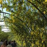 世界を魅了した夢の旅行先「あしかがフラワーパーク」の藤の花が満開!!! CNN「2014年の世界の夢の旅行先9カ所」Tochigi 20150505 155247 150x150