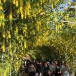 世界を魅了した夢の旅行先「あしかがフラワーパーク」の藤の花が満開!!! CNN「2014年の世界の夢の旅行先9カ所」Tochigi 20150505 155405 150x150
