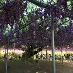 世界を魅了した夢の旅行先「あしかがフラワーパーク」の藤の花が満開!!! CNN「2014年の世界の夢の旅行先9カ所」Tochigi 20150505 155526 150x150