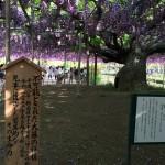 世界を魅了した夢の旅行先「あしかがフラワーパーク」の藤の花が満開!!! CNN「2014年の世界の夢の旅行先9カ所」Tochigi 20150505 155634 150x150