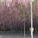世界を魅了した夢の旅行先「あしかがフラワーパーク」の藤の花が満開!!! CNN「2014年の世界の夢の旅行先9カ所」Tochigi 20150505 155913 150x150